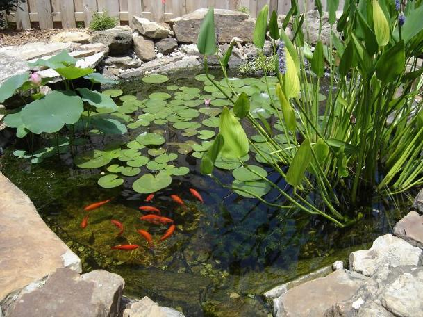 Goldfish ponds water gardens the pond doctor for Pond with plants