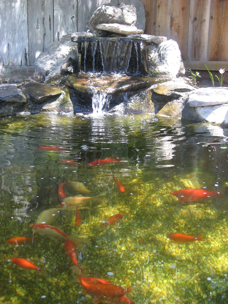 Goldfish ponds water gardens the pond doctor for Backyard pond ideas with waterfall